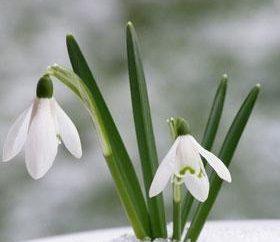 primroses primavera – os mensageiros de calor