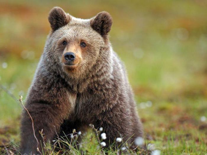 Qual la foresta boreale boschi di conifere della taiga - Gli animali della foresta pluviale di daintree ...