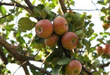 """Apple Tree """"lungwort"""" – un bell'esempio per il giardino"""