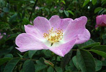 Come distinguere una rosa dal rosa selvatica sulle foglie e fiori? Piantine di rose e rosa canina: foto