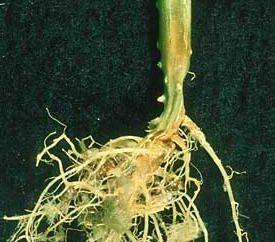Maladie de l'oïdium au concombre et autres: prévention et traitement