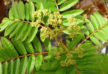 jarzębina liść: kształt, opis struktury i zdjęcia. Jak liścia popiołu górskich w lecie i jesieni?