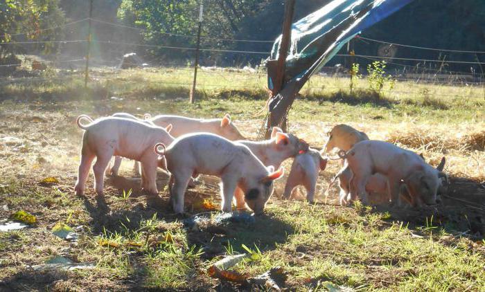 schweinezucht eber bei der paarung