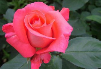 Rose shakira – scelta dei giardinieri