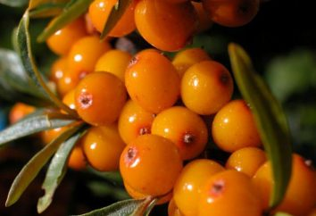 Espino amarillo: propiedades terapéuticas y contraindicaciones, recetas de la medicina tradicional
