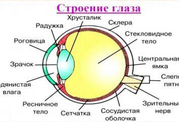 Co jest ludzkie oko? Struktura oka