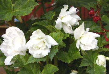 Begonia elatior: cechy opieki