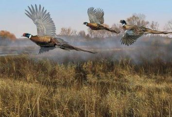 aves Upland. Caça às aves