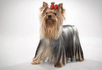 Ile mieszka Yorkshire Terrier. Przepisy pielęgnacji