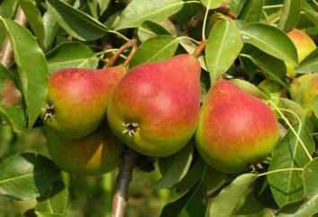 Il favorito Clapp Pera: descrizione della varietà, la coltivazione sottigliezza e la cura