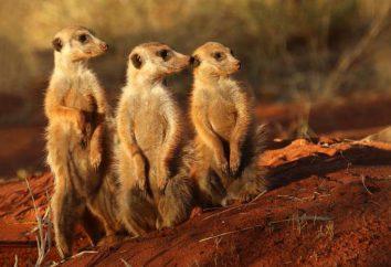 Meerkat – dość egzotyczne zwierzę, które może stać się dla zwierząt domowych