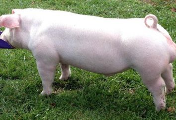 Landrasse – züchten Schweine für das beste Speck Schwein