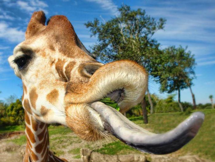 wie lange tragen giraffen