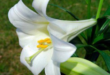 Dlaczego marzyli lilie? Będący tłumaczem snu zachęci odpowiedź