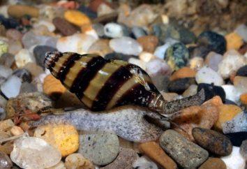 drapieżnik mały ślimak Helena