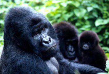Gorilla di montagna: foto, descrizione