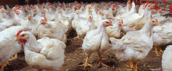 Resultado de imagen para pollos y pollitos con coccidiosis