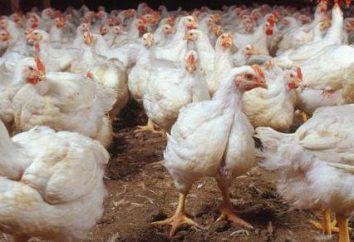 Coccidiose chez les poulets: les causes, le traitement, la prévention