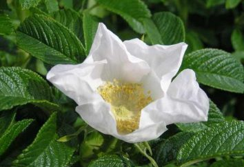 Róża pomarszczona – piękno i witamin
