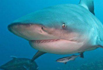 The Shark Bull est le seul requin qui vit dans l'eau douce.