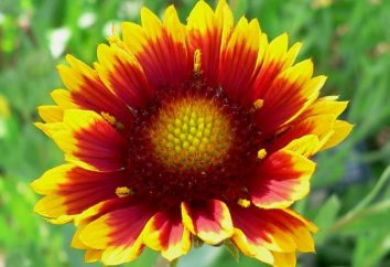 Gaillardia: semina e la cura di margherite colorate