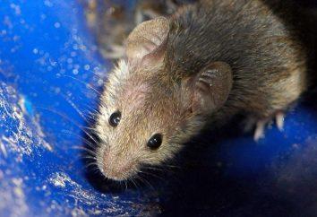 Destruction de souris: une solution alternative au problème