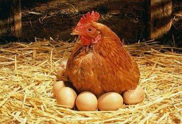 Somos conscientes de lo mucho que la gallina incuba los huevos, y las condiciones que tiene que hacer para crear