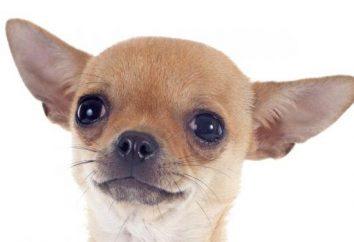 Miniaturowe rasy psów: opis zdjęcia