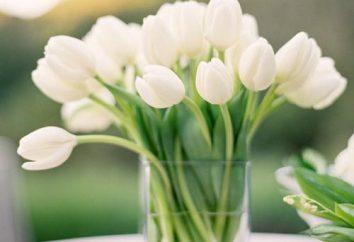 Los plazos de conservación tulipanes en un florero: cómo extender la vida de las flores en un ramo