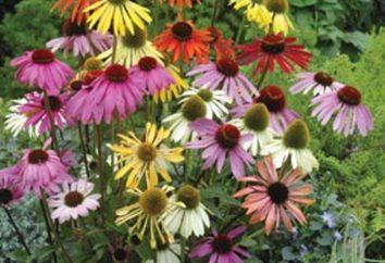 fiori Echinacea purpurea – bellezza e la salute in aiuola