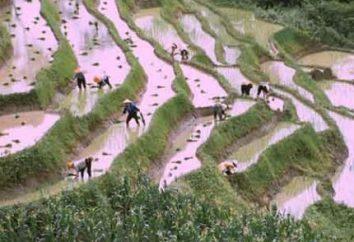 Wie wachsen Reis in Asiaten