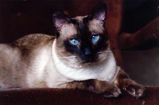 Koty syjamskie: opis rasy