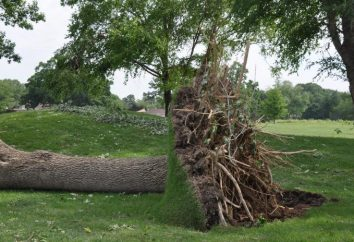 Come sradicare gli alberi sul sito con le proprie mani?