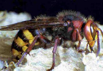 Insektenbekämpfung: Wie wird man von Hornisse befreien