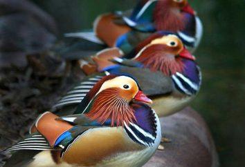 Incredibile e colorato anatra mandarino