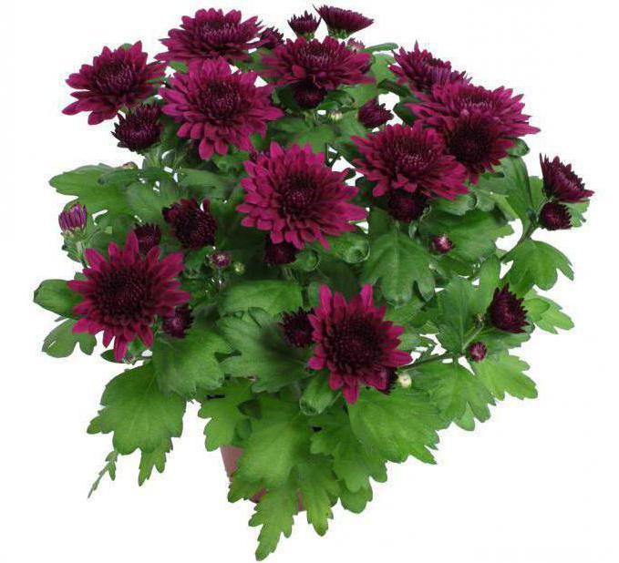 Tipi e caratteristiche di crisantemi cura - Crisantemi in vaso ...