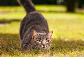 Gatos-Ratcatchers: Descripción de la casta y foto