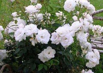 Filets Roses: Pflanzung und Pflege zu Hause