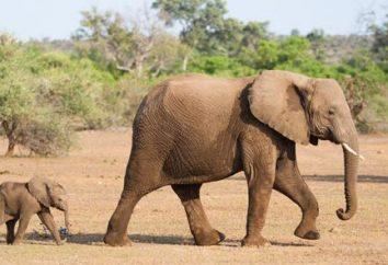 Słoń – symbol co? Wartość zwierzęcia w różnych krajach i religiach