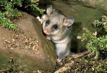 Zarigüeya pigmea: marsupial único