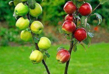 O sincronismo de árvores vacinações de frutas. Tipos de árvores frutíferas vacinas