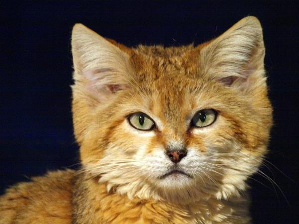Sandy Kot Mały Król Wielkiej Pustyni