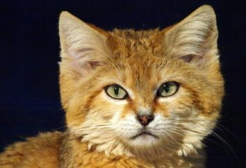 Sandy kot – mały król wielkiej pustyni