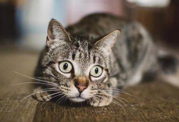 Odróżniają czy koloru kota lub cechy zwierząt futerkowych