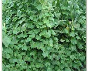 Wie Gurken im offenen Feld wachsen: von der Ernte zu pflanzen