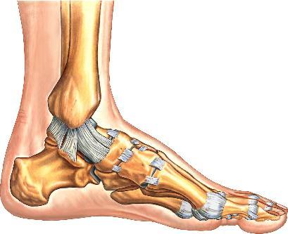 Wie funktioniert zu stoppen? menschlicher Fuß Knochenanatomie