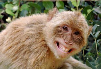 Nato nell'anno della Scimmia. astrologico Caratteristica rivelare segreti