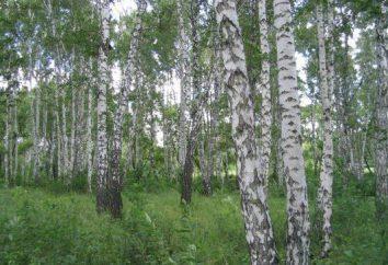 Rodzaje brzozy po rosyjsku: opis, zdjęcia