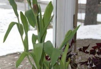 Forcing tulipes à la maison