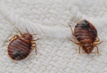 Bedbugs Möbel: wie sie aussehen, wo tun, wie zu tun
